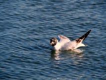 Pato da natação Fotos de Stock