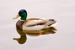 Pato da natação isolado Fotos de Stock Royalty Free