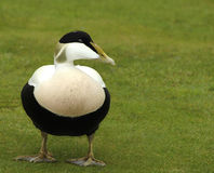 Pato de êider masculino Foto de Stock Royalty Free