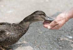 Pato de alimentación del pato silvestre de la mano irreconocible Imagenes de archivo