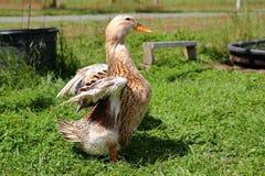 Pato de Appleyard com asas dobradas Fotografia de Stock