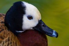 pato de assobio Branco-enfrentado Imagem de Stock