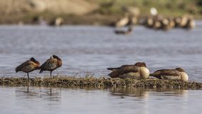 pato de assobio Branco-enfrentado e gansos egípcios imagem de stock