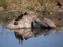 pato de assobio Branco-enfrentado em seguido em uma rocha fotos de stock