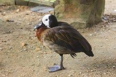 pato de assobio Branco-enfrentado - viduata de Dendrocygna Foto de Stock