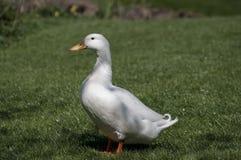 Pato de Aylesbury Foto de Stock Royalty Free