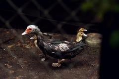 Pato de Brown em uma gaiola fotografia de stock royalty free
