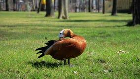 Pato de Brown en el pato de Brown de los animales de los gras que corre en animales de los gras metrajes