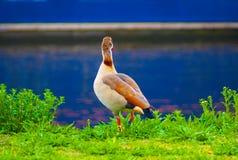 Pato de Brown que mira sobre el agua foto de archivo