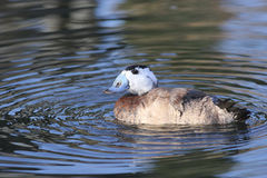 Pato de cabeza blanca, Oxyura Leucocephalia Fotos de archivo