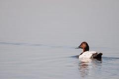 Pato de Canvasback Imagem de Stock Royalty Free