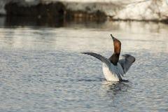 Pato de Canvasback imagenes de archivo