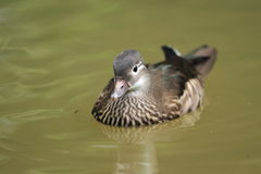 Pato de Carolina Imagen de archivo