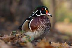 Pato de Carolina - sponsa do Aix Fotografia de Stock Royalty Free
