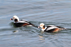 Pato de cauda longa (Oldsquaw) Imagem de Stock Royalty Free