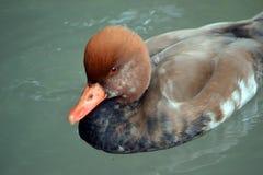 Pato de cresta roja del pato de mar Imagen de archivo libre de regalías