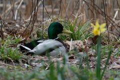 Pato de descanso do pato selvagem perto da lagoa foto de stock