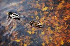 Pato de dois patos selvagens em uma água na lagoa escura com as folhas de flutuação do outono ou da queda Fotografia de Stock Royalty Free