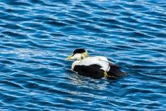 Pato de eíder en el mar, Islandia Imagenes de archivo