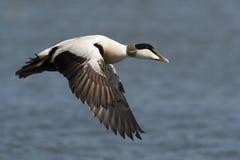 Pato de eíder en vuelo Imagenes de archivo