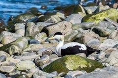 Pato de eíder que pone en la roca, Islandia Imagenes de archivo