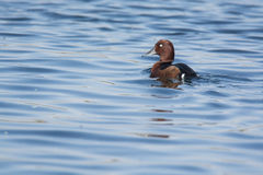 Pato de Ferrigenious no Nilo Fotografia de Stock