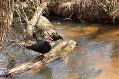 Pato de Indo que descansa em uma árvore caída em um rio Imagem de Stock Royalty Free
