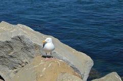 Pato de la bahía de Morro Foto de archivo
