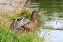 Pato de la hembra del pato silvestre Foto de archivo