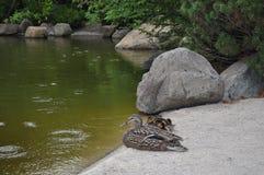 Pato de la madre con los anadones Foto de archivo