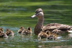 Pato de la madre con los anadones en el lago Imagen de archivo libre de regalías