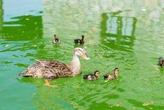 pato de la madre con los pequeños pollos Fotografía de archivo libre de regalías