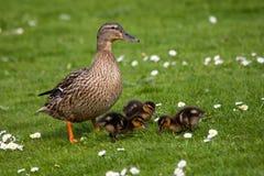 Pato de la madre con los polluelos Imagen de archivo