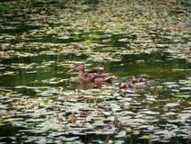 Pato de la madre con su siguiente de los anadones de la remolque imagenes de archivo