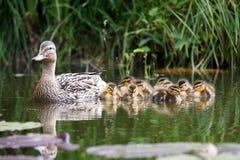 Pato de la madre con sus anadones Fotografía de archivo