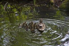 Pato de la madre y anadón de los patos del bebé Fotografía de archivo libre de regalías