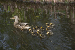 Pato de la madre y anadón de los patos del bebé Fotos de archivo libres de regalías