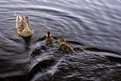Pato de la madre y dos anadones Foto de archivo libre de regalías
