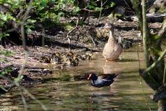 Pato de la madre y sus anadones Fotografía de archivo