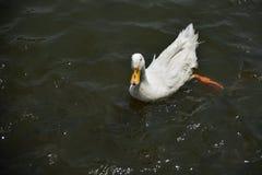 Pato de la natación foto de archivo libre de regalías