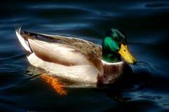Pato de la natación Imagen de archivo libre de regalías