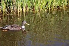 Pato de la natación Fotos de archivo