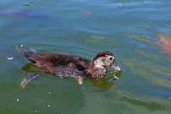 Pato de la natación Imágenes de archivo libres de regalías