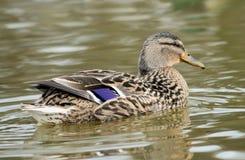Pato de la natación Fotografía de archivo