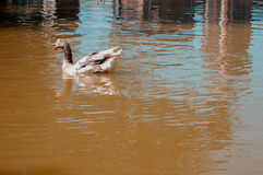 Pato de la natación en un lago tranquilo Reflexiones hermosas del agua en un lago fotos de archivo libres de regalías