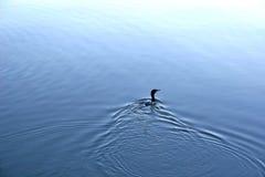 Pato de la pelusa Foto de archivo