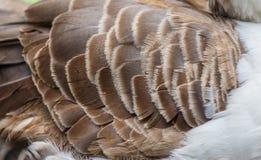 Pato de la pluma Fotos de archivo