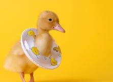Pato de la seguridad Fotografía de archivo libre de regalías