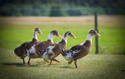 Pato de los cabritos Foto de archivo