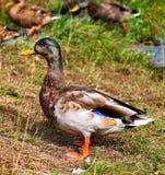 Pato de los pares Foto de archivo